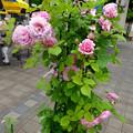 フラリエ:「ローズフェスタ」で展示されてた様々なバラ - 6