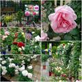 フラリエ:「ローズフェスタ」で展示されてた様々なバラ - 10