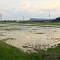写真: 田植えが終わった田んぼ