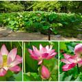 写真: 綺麗な花が咲いていた、鶴舞公園の池のハス - 16
