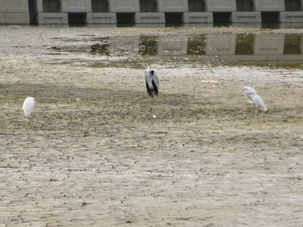 落合公園:水抜き中の干上がった池の真ん中に集まる水鳥 - 1