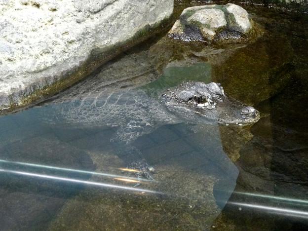 東山動植物園:岩のように微動だにしなかったヨウスコウワニ - 1