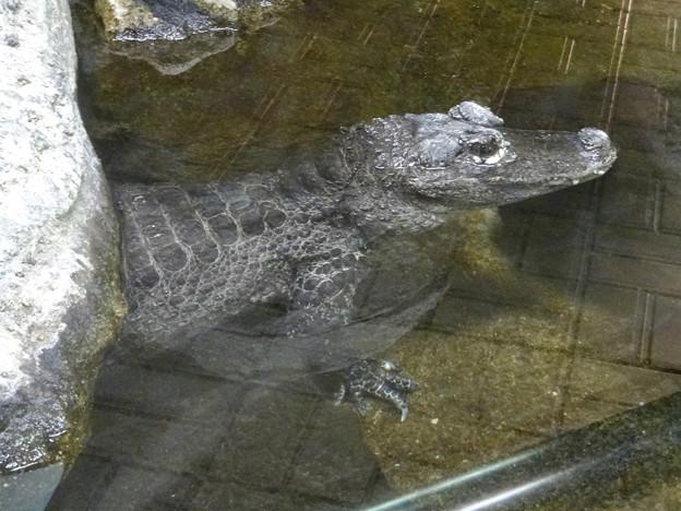 東山動植物園:岩のように微動だにしなかったヨウスコウワニ - 2