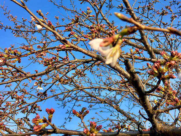 咲き始めていた、大山川沿いの桜 - 3(2017年3月30日)
