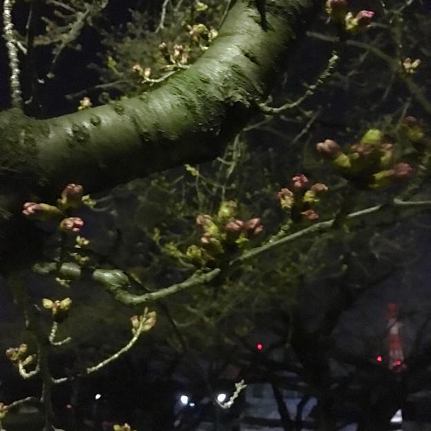 落合公園:蕾は膨らんでたけど、まだ咲いてなかった桜(2017年3月30日) - 7