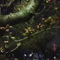 落合公園:蕾は膨らんでたけど、まだ咲いてなかった桜(2017年3月30日) - 11