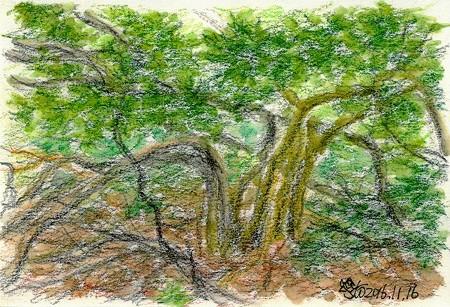 20161116馬酔木の巨木群
