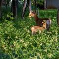 Photos: 鹿の親子