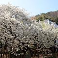 大宝寺「うば桜」