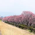 ヨウコウ桜並木