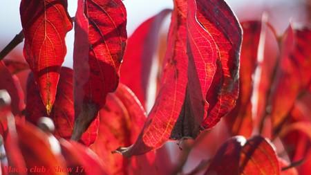 meron さんのための ハナミズキの紅葉・宇治植物公園002