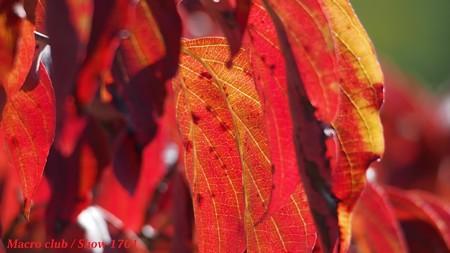 hiro 君のための ハナミズキの紅葉・宇治植物公園003