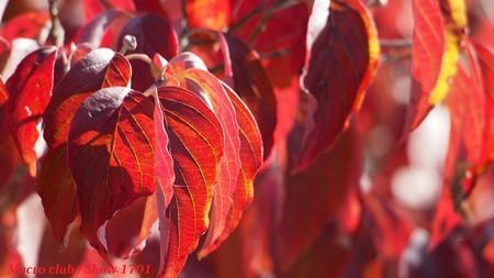 hiro 君のための ハナミズキの紅葉・宇治植物公園004