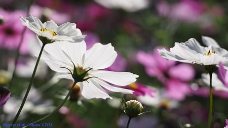 光のパレット コスモス 宇治植物公園 夢の色 09