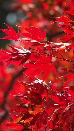 光のパレット 三室戸寺の紅葉 紅の掛軸