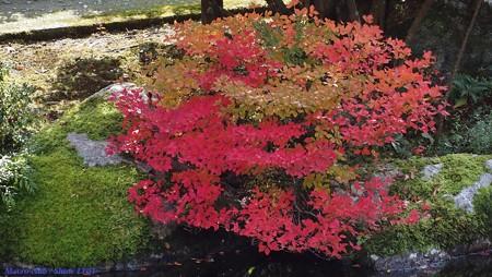 光のパレット 三室戸寺の紅葉 ドウダンツツジ