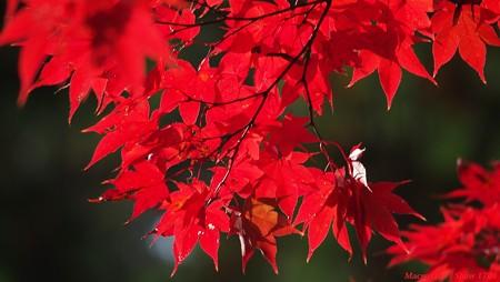 光のパレット 三室戸寺の紅葉 003