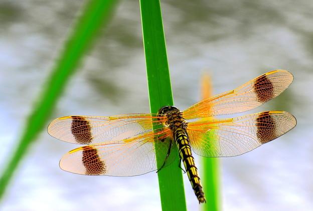 コフキトンボの綺麗な翅脈