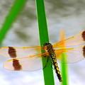 Photos: コフキトンボの綺麗な翅脈