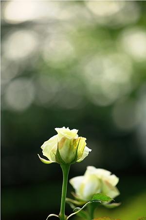 薔薇〜白〜