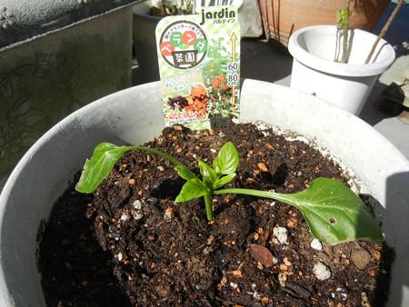 パプリカを植えてみた