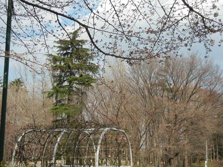 29日の桜
