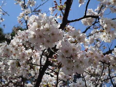 4/4、大宮公園の桜