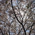 2004年 静岡県沼津市 桜写真