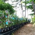 写真: 赤松林を散策しながら