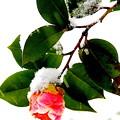 写真: 雪椿