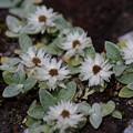 ヤマハハコ属 高山植物