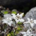 Leontopodium japonicum
