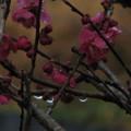 写真: 雨に濡れる梅の輝き