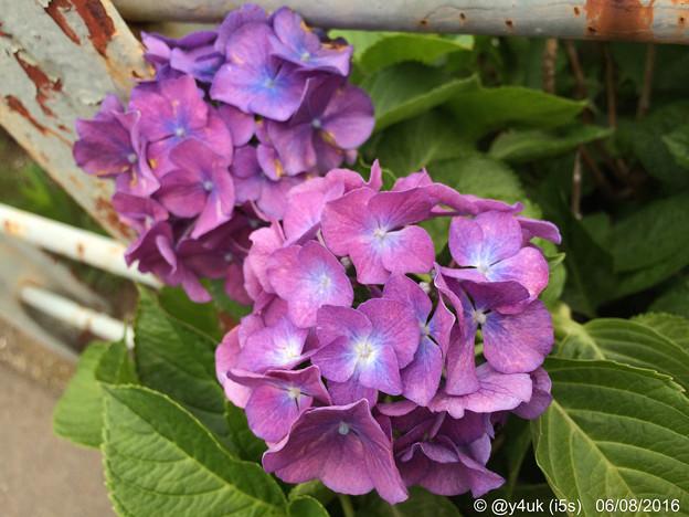 Photos: 道端の紫陽花に ~feeling