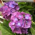 道端の紫陽花に ~feeling
