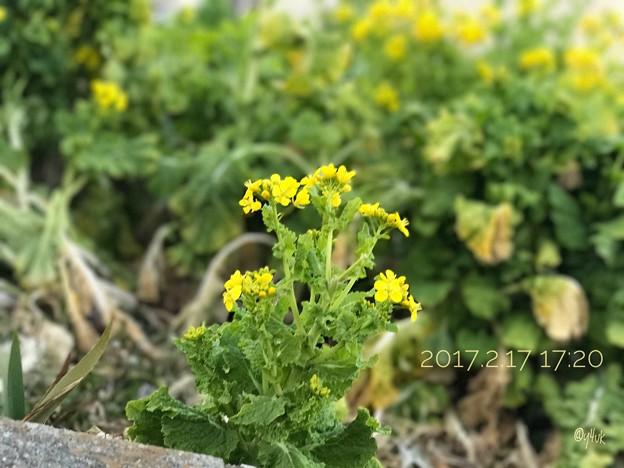 [2017.2.17_17:20]道端に菜の花でも強風で ~iPhone7Plusの被写界深度エフェクト機能