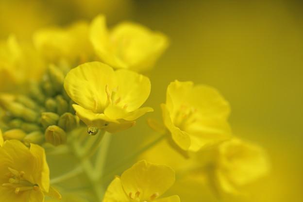 写真: 寒咲き花菜