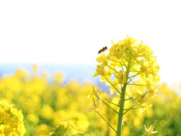 写真: 菜の花とミツバチ