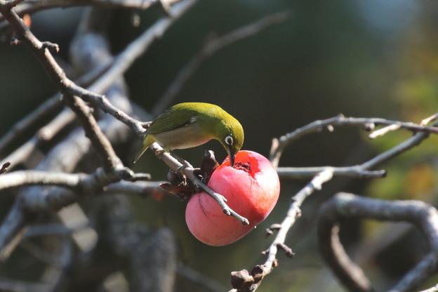 写真: 柿とメジロ(1)FK3A1989