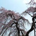 写真: 若樫の枝垂れ桜(2)IMG_1803 by ふうさん