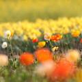 写真: ポピー畑(2)FK3A8429