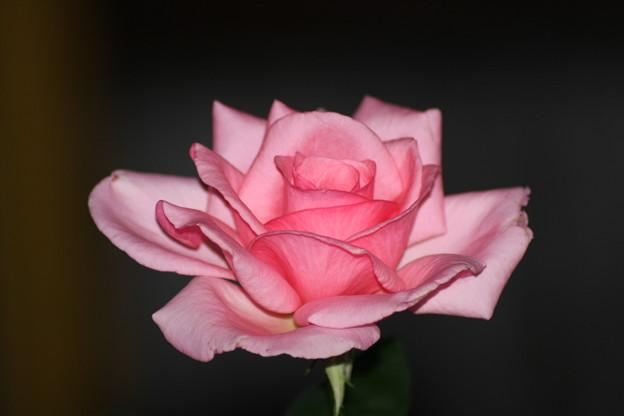 続・続 薔薇のつぼみ