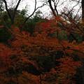 Photos: 阿部倉ハイキングコースのモミジ