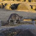 Photos: 金沢動物園のオオカンガルー