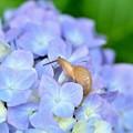かたつむり~紫陽花2