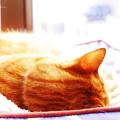 写真: 寝子(猫)