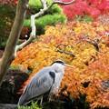 鷺も愛でる紅葉:晩秋好古園92