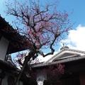 写真: 長兵衛梅03