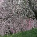写真: 枝垂れ梅12