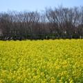 写真: 菜の花畑01